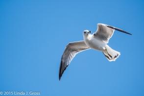 Birds, Seagull