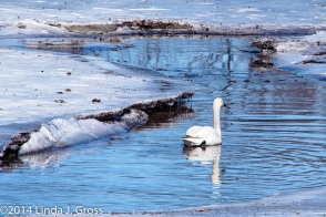 Jamestown, New York, Audubon Center and Sanctuary, Swans